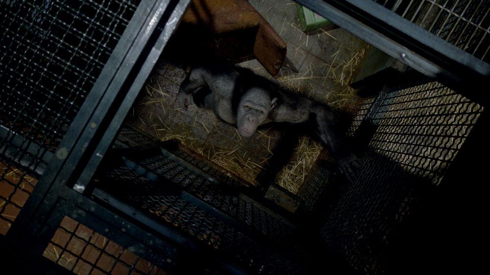 Lo scimpanzé in gabbia nel film L'alba del pianeta delle scimmie. -  Dall'articolo: Andy Serkis, l'uomo scimmia.
