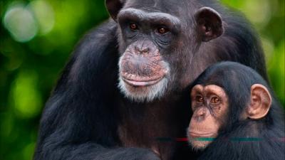 Vita da scimpanzè, il trailer ufficiale della serie [HD]
